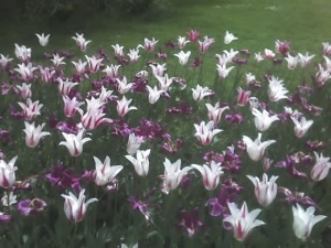 lilac-fest-tulips