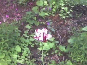 lone-tulip